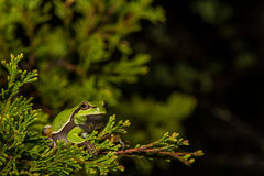 Pine Barrens Treefrog. A Pine Barrens Treefrog climbing a tree by a vernal pool stock images