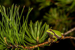 Pine Barrens Treefrog. A Pine Barrens Treefrog climbing a tree by a vernal pool royalty free stock photo