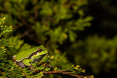 Pine Barrens Treefrog. A Pine Barrens Treefrog climbing a tree by a vernal pool royalty free stock image
