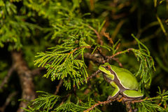 Pine Barrens Treefrog. A Pine Barrens Treefrog climbing a tree by a vernal pool royalty free stock photography