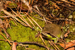 Pine Barrens Treefrog. A Pine Barrens Treefrog crawling on the ground towards the vernal pool stock photos