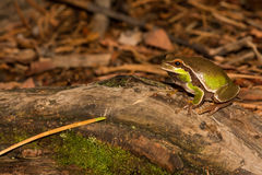 Pine Barrens Treefrog. A Pine Barrens Treefrog crawling on the ground towards the vernal pool stock photography