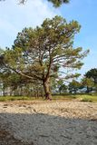 Pine in the beach. royalty free stock images