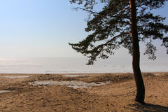 Pine on beach Stock Photography
