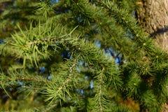 Pine Stock Photo