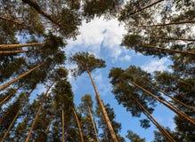 Pine Royalty Free Stock Photo