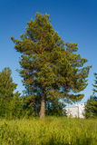 Pine Royalty Free Stock Photos