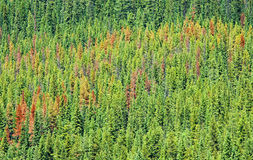 Pine beetle damage Royalty Free Stock Image