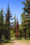 Pine beetle damage. Trail through forest in Manning Park, British Columbia, showing trees damaged by pine beetles Royalty Free Stock Image