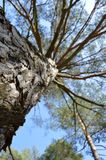 Pine from below. Trunk and divergent branches of the pine-tree from below Stock Photography