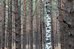Pine and birch Royalty Free Stock Photography
