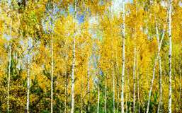 Pine and birch forest in autumn season Royalty Free Stock Photos