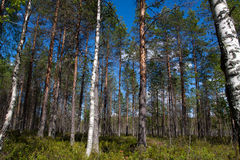 Pine and birch forest Royalty Free Stock Photos
