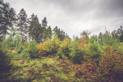 Pine and birch trees in a Scandinavian forest. In autumn Royalty Free Stock Image