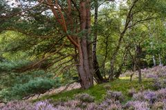 Pine, birches, and blooming heath in nature reserve at day. Stock Photo