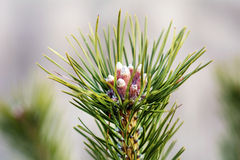 Pine bloom, pinaceae Stock Images