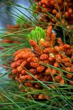 Pine blossom in the spring Royalty Free Stock Photography