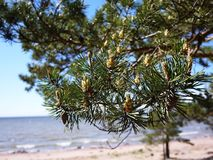 Pine blossom in spring. Beautiful nature in spring.  Details stock images