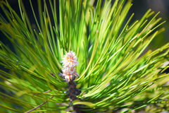Pine blossom Royalty Free Stock Image