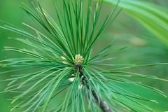 Pine flowers on a green background in natural light royalty free stock images