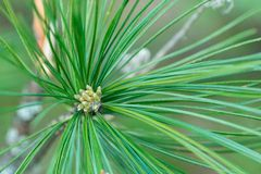 Pine flowers on a green background in natural light stock image