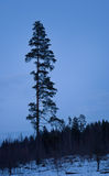 Pine in blue night Stock Photos
