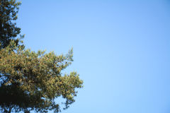 Pine and blue sky Royalty Free Stock Images