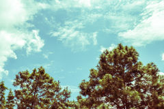 Pine and blue sky vintage toning Royalty Free Stock Photo