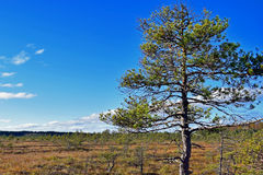 Pine on bog. Blue sky on background. Torronsuo National Park Finland royalty free stock images