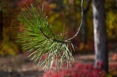 Pine with bokeh background Stock Image