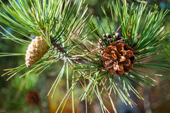 Pine with bokeh background Royalty Free Stock Photography
