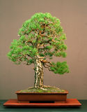 Pine bonsai stock image