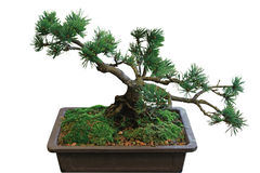 Pine Bonsai Royalty Free Stock Photo