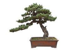 Pine bonsai. Gardening white background royalty free stock photography