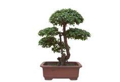 Pine bonsai. Bonsai tree isolated on white, pine bonsai royalty free stock image