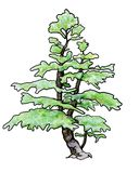 Pine Bonsai stock illustration