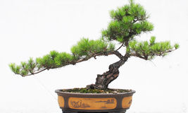 The pine bonsai royalty free stock images