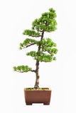 Pine bonsai Stock Photography