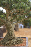 A Pine bonsai isolated on a nature background. Pine bonsai isolated on a nature background Stock Photos