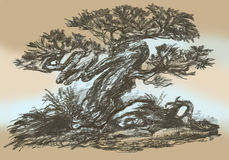 Pine bonsai on rocks. Pen drawing. Illustration of a small bonsai Royalty Free Stock Photography