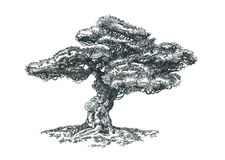 Pine bonsai on rocks. Pen drawing. Illustration of a small bonsai Stock Photo