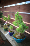 Pine bonsai tree in blue pot Stock Image