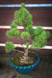 Pine bonsai tree in blue pot Stock Photography