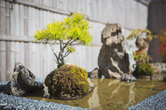 Pine bonsai tree decoration Royalty Free Stock Image