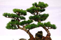 Pine Bonsai Tree Royalty Free Stock Images