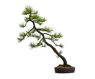 Pine Bonsai Tree. In the pot isolated on white background Royalty Free Stock Images