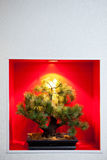Pine bonsai tree in a recessed wall Royalty Free Stock Image