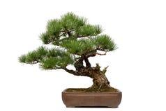 Pine bonsai on white Stock Photos