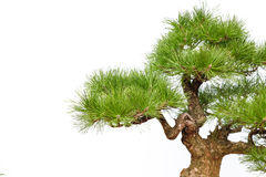 Pine bonsai on white (part) royalty free stock images