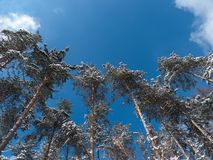Pine from the bottom on a blue sky. A series of photos of trees from the bottom in winter Royalty Free Stock Photography